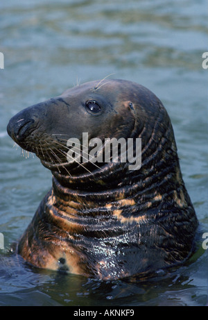 Seal at the National Seal Sanctuary at Gweek in the Helford Estuary Cornwall UK - Stock Photo