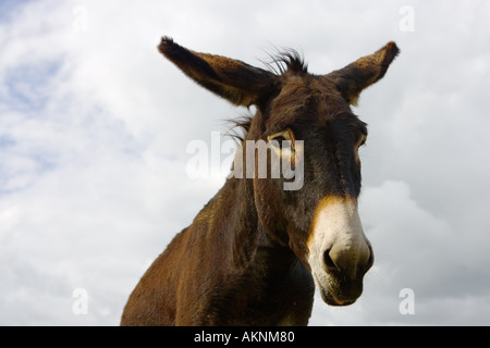 Donkey Normandy France - Stock Photo