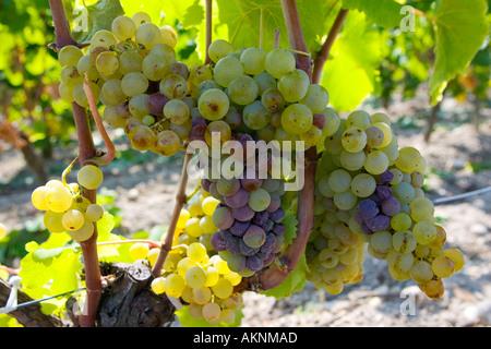 Noble rot botrytis Cinera on grape vine Preignac Sauternes France on the estate of Chateau de Malle - Stock Photo