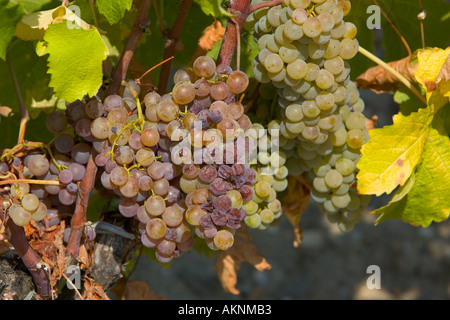 Noble rot botrytis Cinera on grape vine in Sauternes France on the estate of Chateau de Malle - Stock Photo