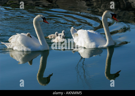Mute swan family of five cygnets with one riding on the back of mother reflected in Lake Ontario water Toronto - Stock Photo