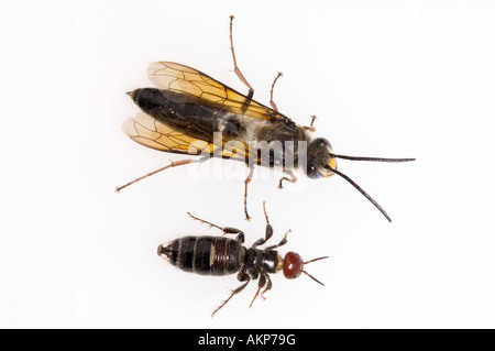 Australian flower wasps - Stock Photo