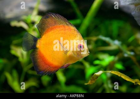 Blue Discus Symphysodon Aequifasciatus Swimming Stock Photo Royalty Free Image 86055325 Alamy