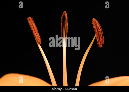 Close-up of stamens with ripe anthers - Stock Photo