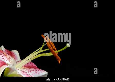 Close up of flower reproductive structures parts including stamens, anthers, pistil and stigma. - Stock Photo