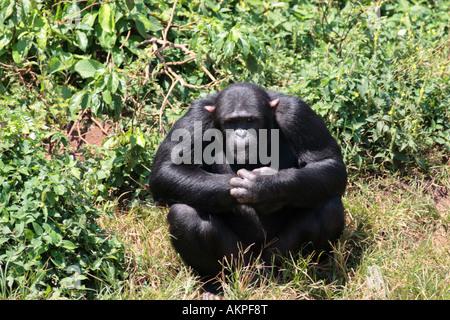mature male, Pan troglodytes - Stock Photo