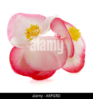 Begonia - Stock Photo