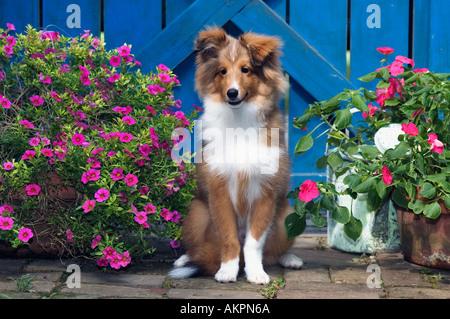 Shetland Sheepdog Puppy Sitting Beside Blue Garden Gate Greenville Indiana - Stock Photo