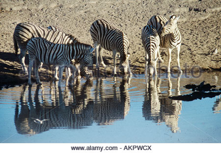 Zebras at water hole - Stock Photo