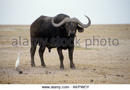 African buffalo and cattle egret - Stock Photo