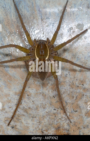 Six spotted fishing spider Dolomedes triton guarding egg sac - Stock Photo