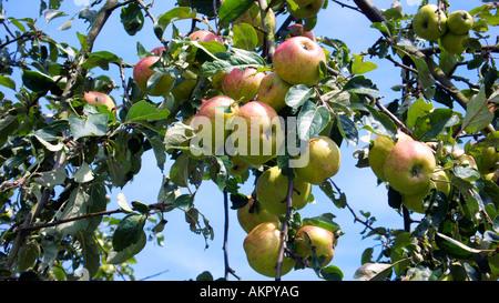 apple tree with ripe apples, nature reserve Hohe Mark, Ruhr area, North Rhine-Westphalia - Stock Photo