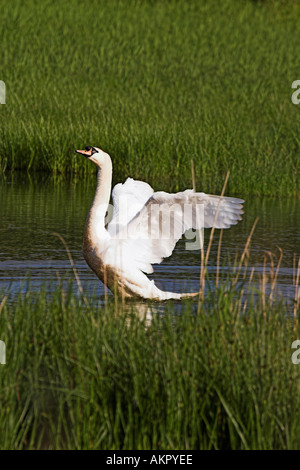 swan flapping its wings in a nature reserve - Stock Photo