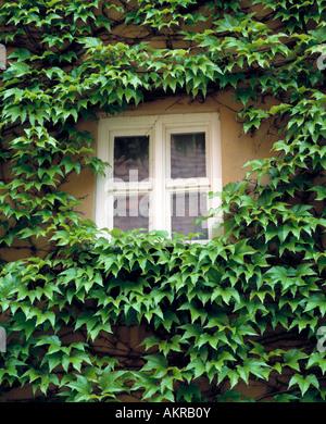 Hauswand mit Efeubewuchs, Fenster, soziale Wohnsiedlung Fuggerei in Augsburg, Lech, Schwaben, Bayern - Stock Photo
