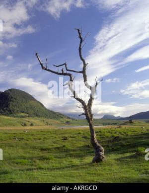 Dead Tree on Scottish Moorland Estate - Stock Photo