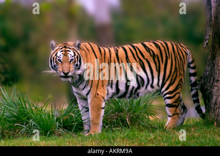 Bengal tiger Panthera tigris tigris standing in grass next to tree looking at camera - Stock Photo
