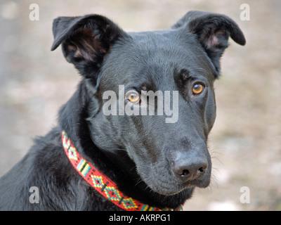 portrait black hybrid dog Labrador Border Collie mix is looking sad - Stock Photo