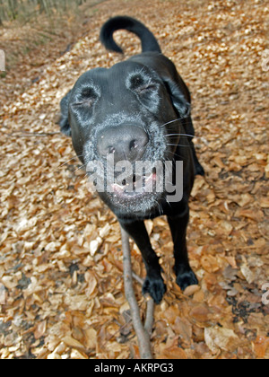 muzzle of a black hybrid dog Labrador Border Collie mix in autumn in forest - Stock Photo
