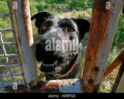 black hybrid dog Labrador Border Collie mix behind a fence gate - Stock Photo