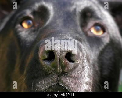 muzzle of a black hybrid dog Labrador Border Collie mix is looking sad - Stock Photo