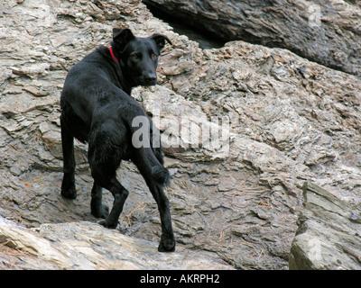 black hybrid dog Labrador Border Collie mix climbing on rocks - Stock Photo