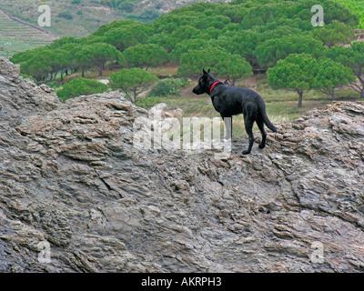 black hybrid dog Labrador Border Collie mix climbing on rocks in south of France - Stock Photo