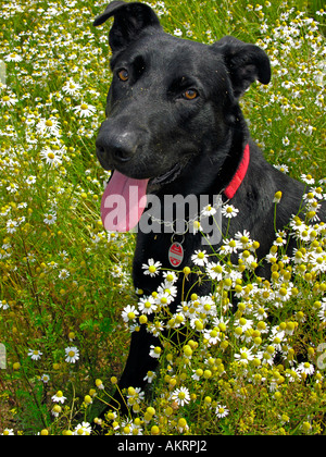 black hybrid dog Labrador Border Collie mix on a meadow with flowering camomile - Stock Photo