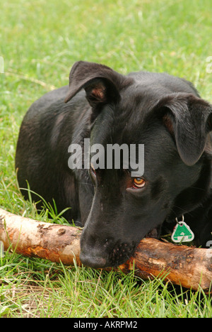 black hybrid dog Labrador Border Collie mix biting chewing a big stick on a meadow - Stock Photo