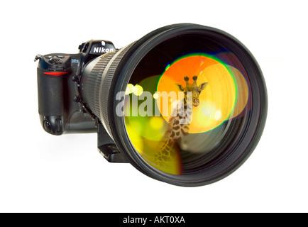 wildlife photographer ´s hand tool telephoto telephoto lens telephotolens tele reflex camera mirroring a wild giraffe - Stock Photo