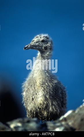 Young Herring Gull - Stock Photo