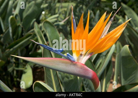 Strelitzia Reginae (Bird of Paradise Flower), Madeira, Portugal - Stock Photo