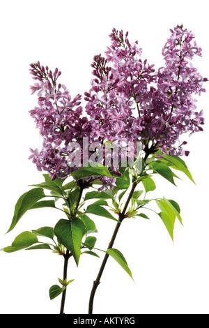 Lilac, Syringa, close-up - Stock Photo