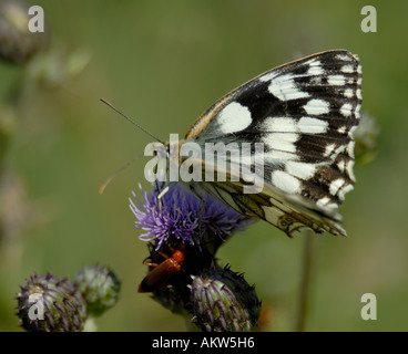 Female Marbled White butterfly Melanargia galathea feeding on a creeping thistle - Stock Photo