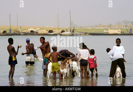 Young men and boys wash family goats in the Niger River. The goats are prized possessions. Mopti Mali - Stock Photo