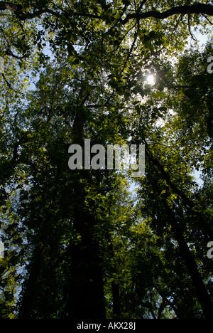 Tree canopy in Congaree National Park South Carolina United States - Stock Photo