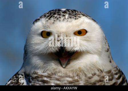 Snowy Owl (Bubo scandiacus), portrait