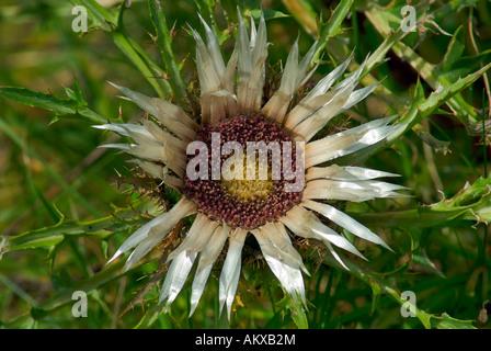 Flower of the Silver thistle (Carlina acaulis) - Stock Photo