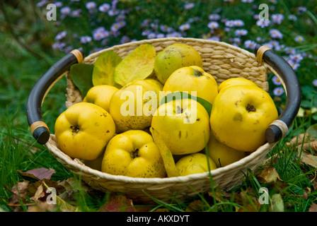 Basket with freshly harvested quinces (Cydonia oblonga) - Stock Photo