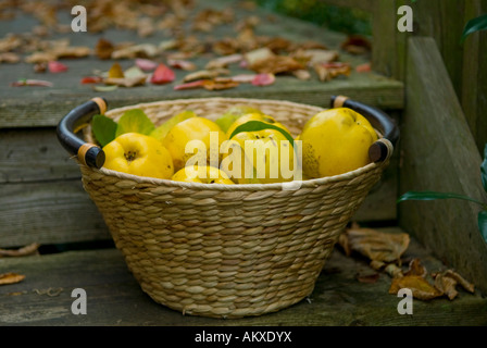 Basket with freshly harvested quinces (Cydonia oblonga) - Stock Photo