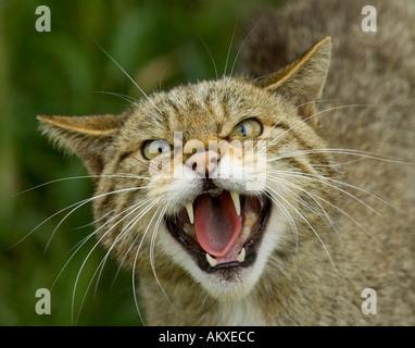Scottish Wildcat Felis silvestris snarling Scotland - Stock Photo