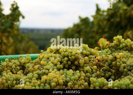 White grapes after the grape gathering, Southern Palatinate, Palatinate, Rhineland-Palatinate, Germany - Stock Photo
