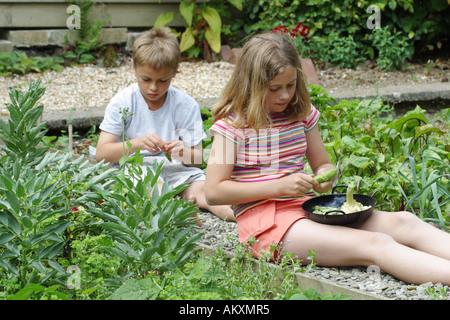 Children shelling broad bean vegetables in garden allotment - Stock Photo