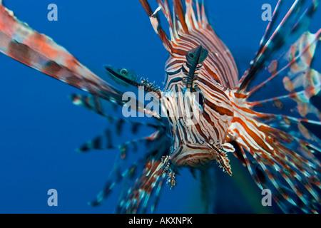 Common lionfish, Pterois volitans. - Stock Photo