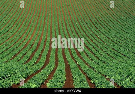 Potato crop, early summer, , Ulverstone,  Tasmania, Australia, horizontal, - Stock Photo