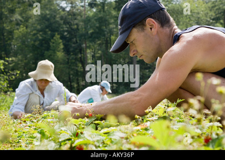 Harvesting wild strawberries for the production of remedies at the Weleda Company - Stock Photo