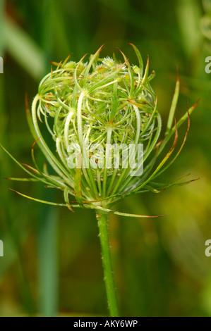 Wild carrot, Daucus carota ssp. carota - Stock Photo