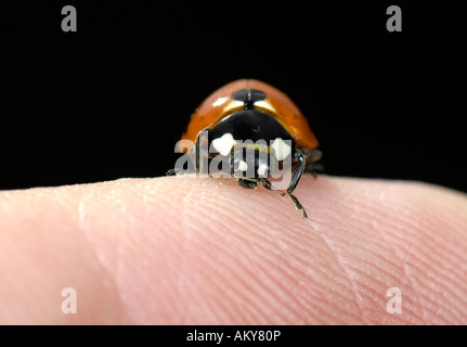 European Seven-spot ladybird (Coccinella septempunctata) on human finger - Stock Photo
