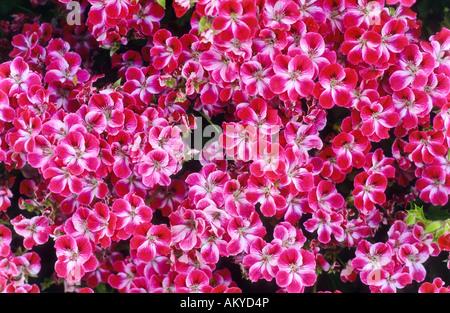 Pink flowers, Crete - Stock Photo