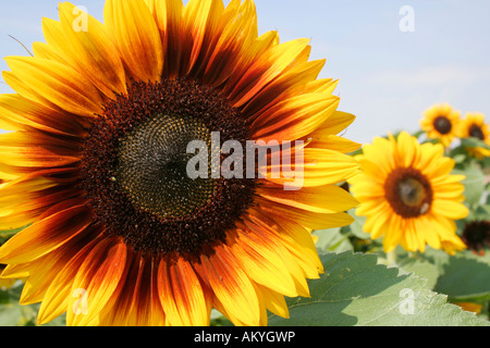 Sunflowers (Helianthus annuus) - Stock Photo