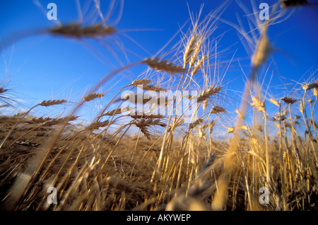 Wheat field in the Red River Valley of Minnesota - Stock Photo